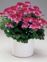 Pelargon 'Tip Top', Pelargonium × domesticum syn. Pelargonium grandiflorum-hybrid 'Tip Top'