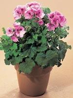 Engelsk pelargon, Pelargonium × domesticum syn. Pelargonium grandiflorum-hybrid