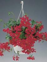 Hängpelargon, Murgrönspelargon, Pelargonium peltatum-hybrid