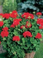 Pelargon, Pelargonium × hortorum F1 syn. Pelargonium zonale-hybrid F1