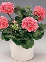 Zonalpelargon, Pelargonium × hortorum syn. Pelargonium zonale-hybrid