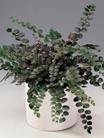 Penningbräken, Pellaea rotundifolia