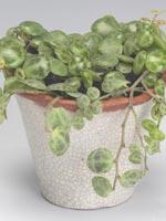 Ören-på-snören, Peperomia rotundifolia var. pilosior syn. Peperomia prostrata