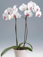 Brudorkidé, Phalaenopsis hybrid