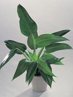 Spadranka, Brokig vingranka, Purpurranka, Philodendron sagittifolium syn. Philodendron tuxtlanum