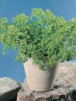 Mosspilea, Pilea microphylla