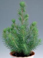 Pinje, Pinus pinea