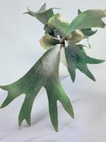 Älghornsbräken, Platycerium bifurcatum