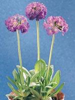 Bollviva, Primula denticulata
