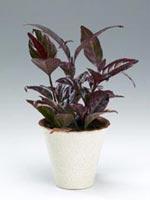 Marmorbuske, Pseuderanthemum repandum