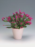 Vårkaktus, Rhipsalidopsis hybrid