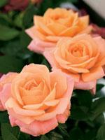 Frilandsros, Rosa-hybrid