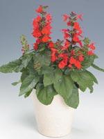 Scharlakanssalvia, Salvia coccinea