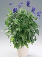 Daggsalvia, Salvia farinacea