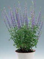 Stäppsalvia, Salvia nemorosa