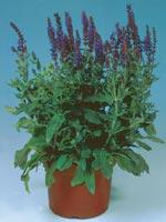 Honungssalvia, Trädgårdssalvia, Salvia x superba