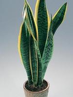 Svärmorstunga, Sansevieria trifasciata