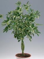 Paraplyaralia, Schefflera arboricola