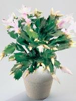 Jul- och novemberkaktus, Schlumbergera-hybrider