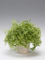 Barrfetblad, Sedum lineare