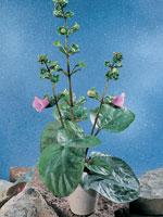 Gloxinia 'Parfuflora', Sinningia x hybrida 'Parfuflora'®