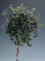 Himmelsöga, Solanum rantonnetii