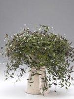 Gibasis geniculata syn. Tradescantia geniculata