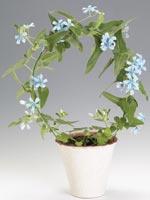 Spetsblad, Oxypetalum caeruleum syn. Tweedia caerulea