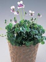 Ampelviol, Viola hederacea