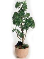 Trädtaklök, Aeonium arboreum