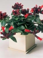 Ampelfackla, Aeschynanthus hybrid