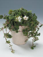 Nejlikepiskia, Alsobia dianthiflora