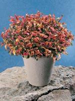 Papegojblad, Alternanthera ficoidea