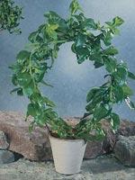 Aptenia, Aptenia cordifolia