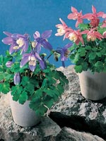 Japansk akleja, Aquilegia flabellata