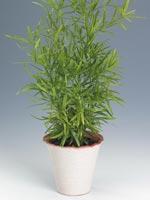 Klättersparris, Asparagus falcatus