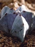 Biskopsmössa, Astrophytum myriostigma
