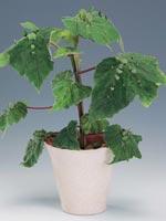 Kapuschongbegonia, Begonia hispida var. cucullifera