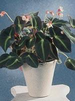 Randbegonia, Begonia listada