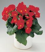 Begonia, Begonia elatior-hybrid 'Schwabenland'