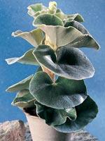 Pergamentbegonia, Begonia venosa