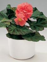 Knölbegonia, Begonia x tuberhybrida