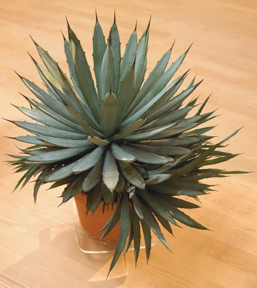 köpa agave växt