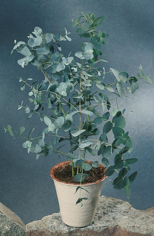 Eukalyptus | Odla.nu