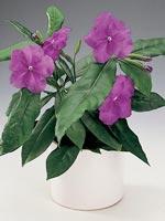 Brunfelsia, Brunfelsia pauciflora