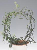 Klätterlivsblad, Bryophyllum scandens