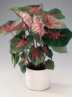 Kaladium, Caladium bicolor-hybrid