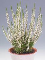 Ljung, Calluna vulgaris