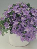 Betlehemsstjärna, Rivieraklocka, Campanula isophylla
