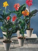 Kanna, Canna indica hybrid